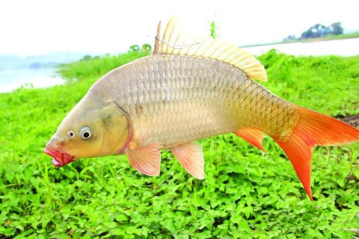 麦溪鲤鱼干
